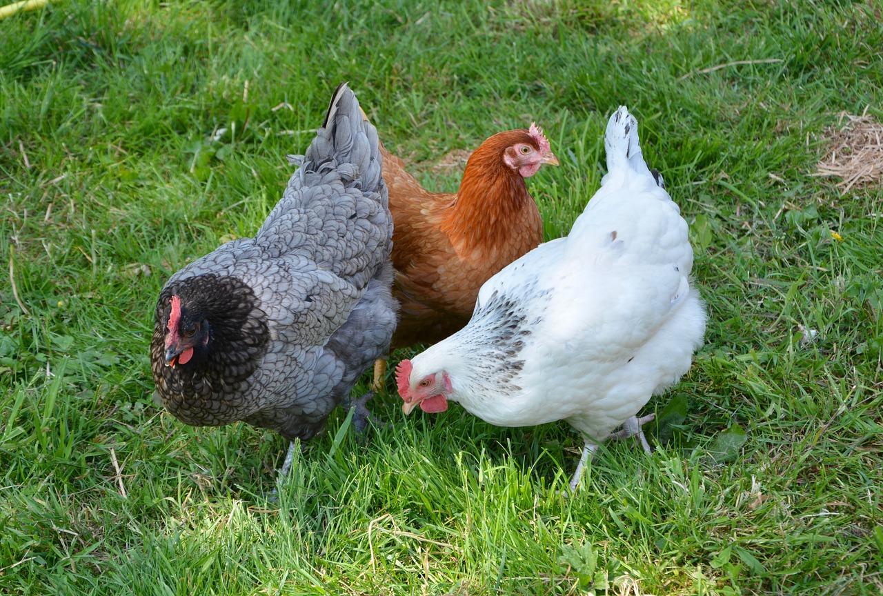 Quelle race de poules choisir pour mon poulailler ?